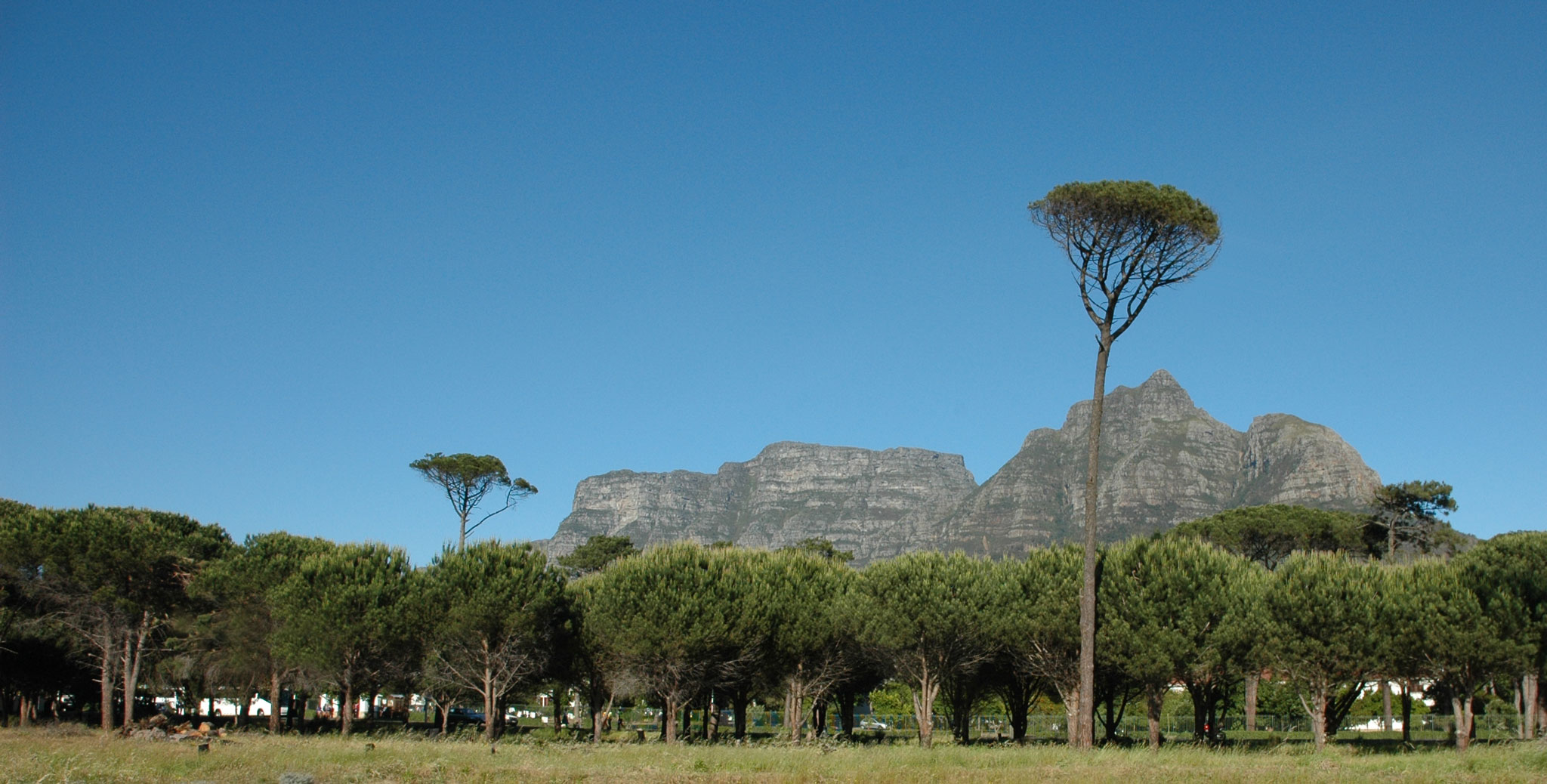 Trees on Rondebosch Commons looking towards Table Mountain
